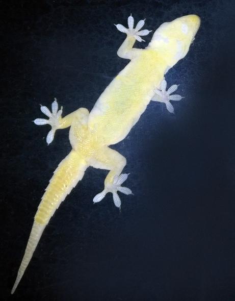 Gecko_feet